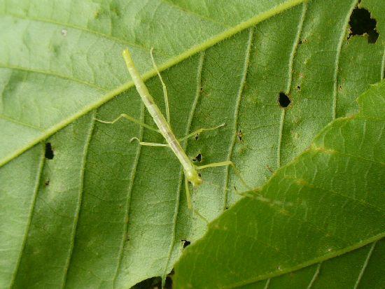 シラキトビナナフシの2令幼虫