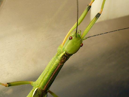 シラキトビナナフシの成虫