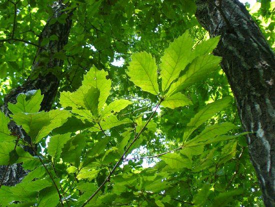 コナラ樹上のシラキトビナナフシ