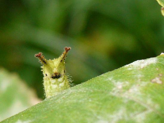 オオムラサキ幼虫の顔
