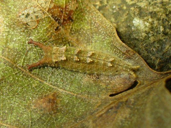 枯葉の下の4令幼虫