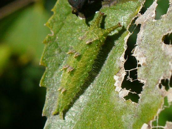エゾエノキの葉上のオオムラサキ幼虫