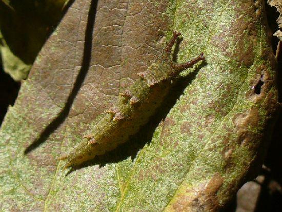 枯葉の裏のオオムラサキ幼虫
