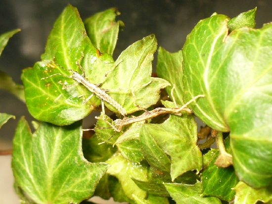 トゲナナフシの初令幼虫