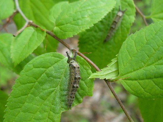 越冬明けのオオムラサキ幼虫