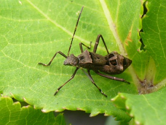 ホソヘリカメムシの幼虫