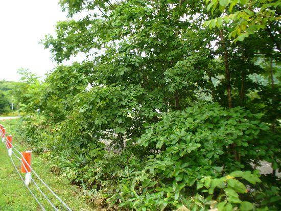 シラキトビナナフシの生息環境