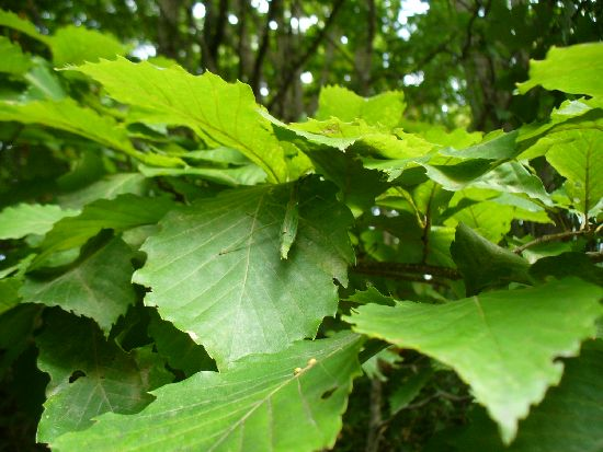 シラキトビナナフシ(西大沼産)