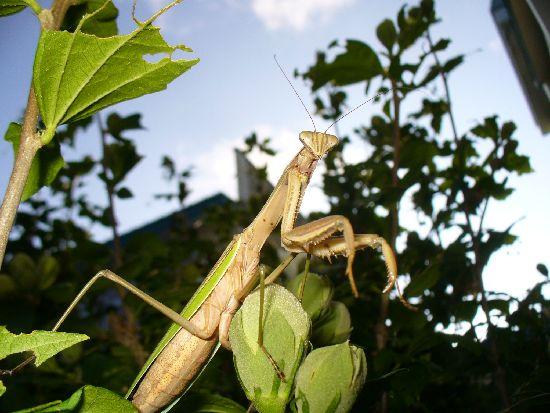 オオカマキリ(Tenodera aridifolia)