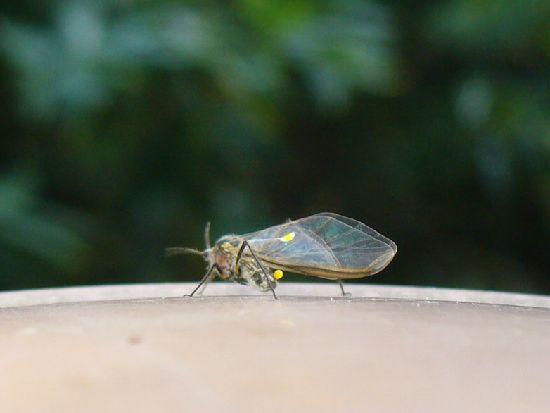 アブラムシの有翅虫