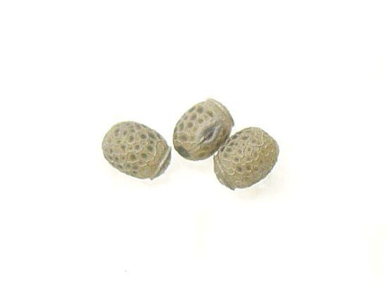 シラキトビナナフシの卵
