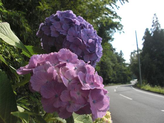 紫陽花07