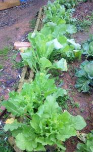 畑の折り菜
