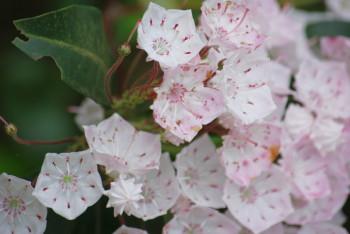 アメリカ石楠花 カルミア