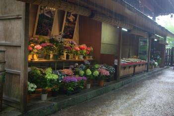 久米寺紫陽花鉢と土産物