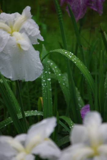 雫 花ショウブ1