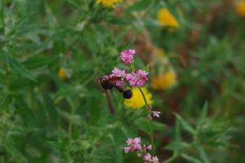 スズバチと蕎麦の花