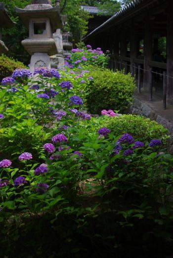 長谷寺回廊の紫陽花