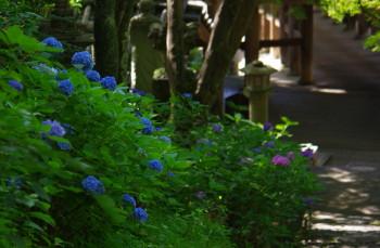 長谷寺紫陽花1
