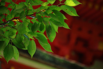 長谷寺塔と桜の葉