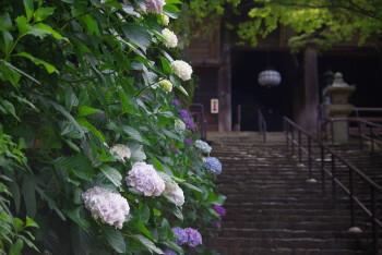 長谷寺紫陽花4