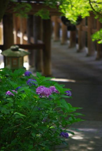 長谷寺紫陽花3
