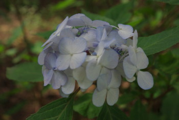手鞠紫陽花
