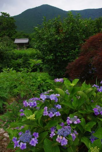 紫陽花と白雲嶽