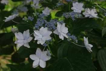 八重額紫陽花