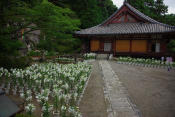 松尾寺境内のゆり