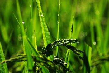 稲穂の水滴