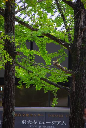 奈良公園銀杏