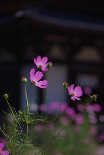 法起寺コスモス1