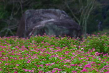 石舞台そばの花
