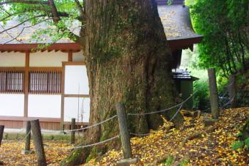 坪内のイチョウの巨樹1