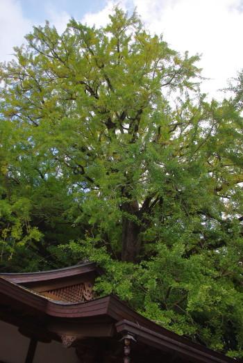 坪内のイチョウの巨樹01