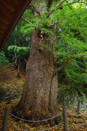 坪内のイチョウの巨樹3