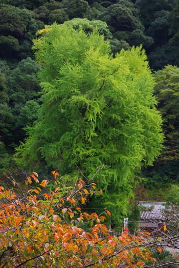 長谷寺銀杏