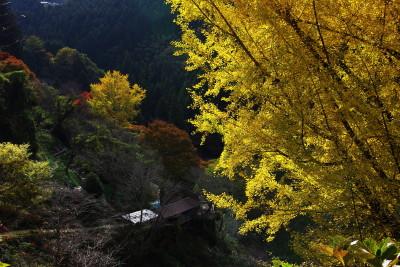 如意輪寺銀杏2011