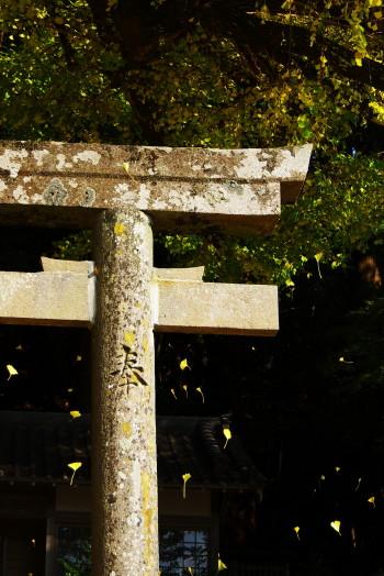ラッパイチョウ落葉