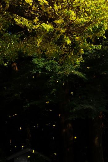 ラッパイチョウ落ち葉1
