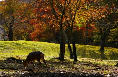 奈良公園 桜の紅葉