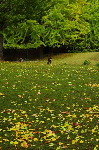 奈良公園 銀杏落葉1