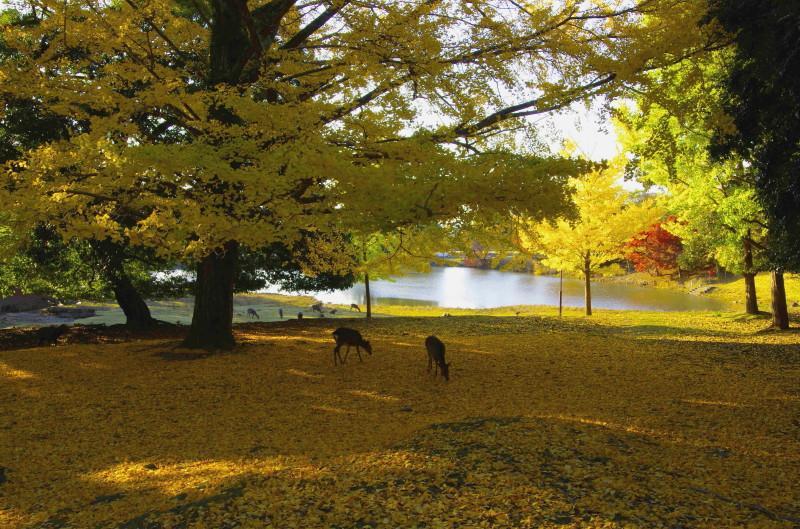 奈良公園 銀杏と鹿1