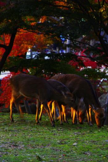 奈良公園 モミジと鹿1