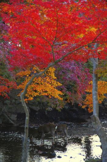 奈良公園 モミジと鹿