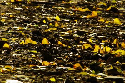 奈良公園 銀杏落葉