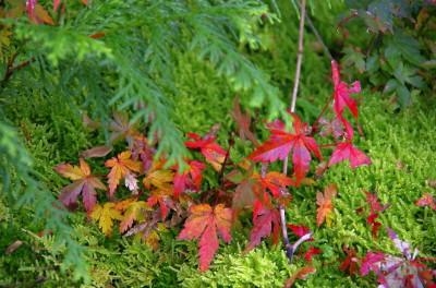 岡寺 苔石の楓