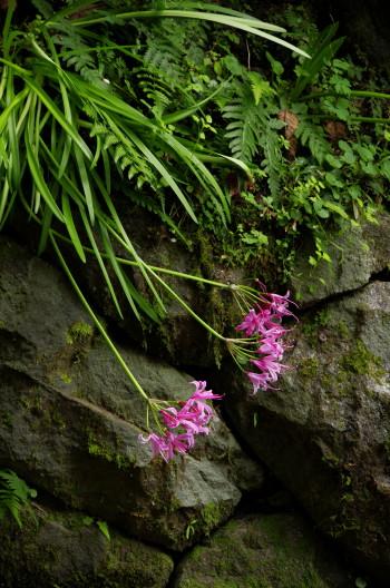 岡寺 石垣の花
