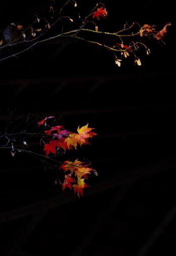 紅葉 残り葉